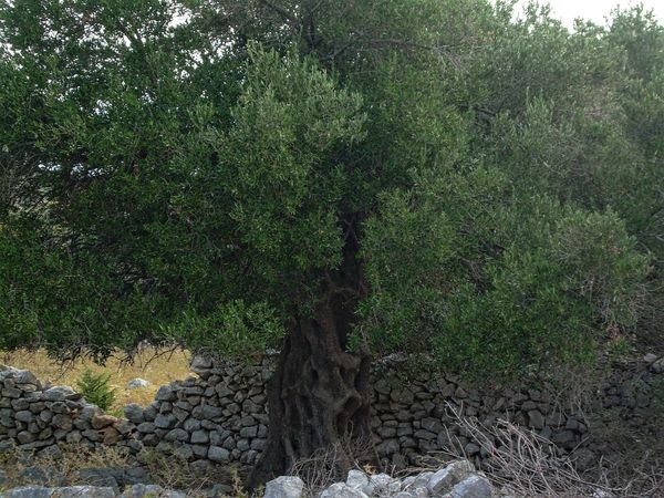 EyeEm Nature Lover Island Pag Old Trees Olive Oil Tree