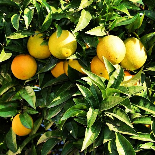 Oranges on the tree. Orange Oranges Tree Trees On The Tree On The Tree. Oranges On The Tree Oranges On Tree Fruit Citrus Fruit Juicy Orange Tree Outdoors Healthy Eating Nature Green Color Close-up Food Green Color Leaves EyeEm Fruit Collection Eyeem Fruits Eyeem Fruit EyeEm Fruity EyeEm Gallery