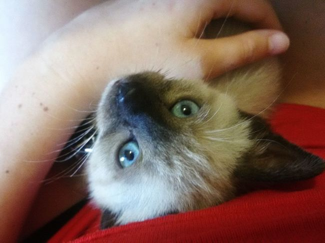 My Fixation ❤ Cat Miró  Eyeblue Sweet Prettycat Siamese Pet Portraits