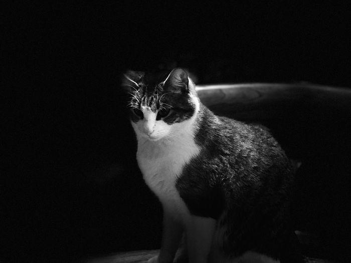 Portrait of cat sitting against black background
