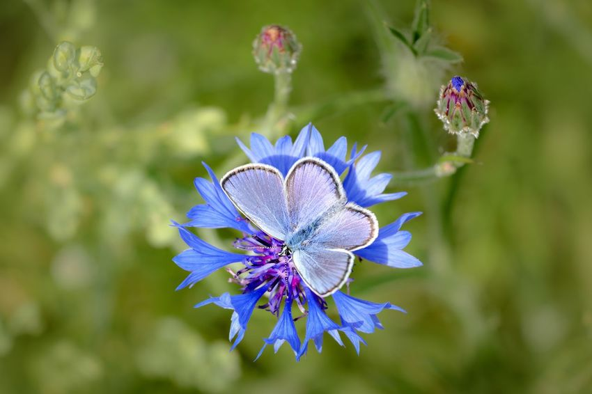 Centaurea Cyanus Cornflower Butterfly Lepidoptera Polyommatini Typical Blues Flowering Plant Flower Beauty In Nature Plant Fragility Flower Head Petal Close-up Nature Focus On Foreground No People Outdoors Botany Blue