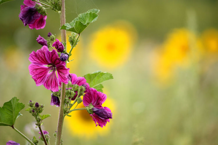 Beauty In Nature Blooming Flower Flower Head Focus On Foreground Fragility Freshness Growth No People Purple Flower Flowering Plant In Bloom Magenta