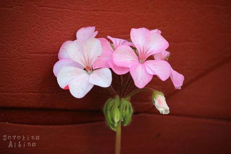 цветы цветок  цветокжизни цветочек цветочки розовый розовыйцветок розовыйцвет яфотограф яфотографирую веснапришла весна лето Flowers Flower Pinkcolor Imphotographer Springtime Summer Wood Russia Canon