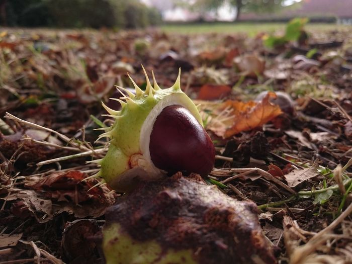 Single Object Close-up Freshness Focus On Foreground Selective Focus Nature Conker Conker Season Conker Shell Conkers Autumn🍁🍁🍁 All In All It Was Just Another Brick In The Wall Nut - Food Seeds Of Life Tree Seed Horse Chestnut Chestnut Fall Beauty Nofilter No Edit/no Filter Just Phtography