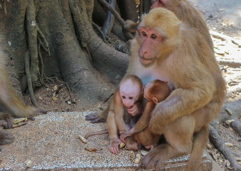 Thai brown monkeys in the park Face Forest Funny Life Nature Rock Sitting Zoo Animal Brown Cute Fur Hand Mammal Monkey Outdoors Play Stone Wild Wildlife