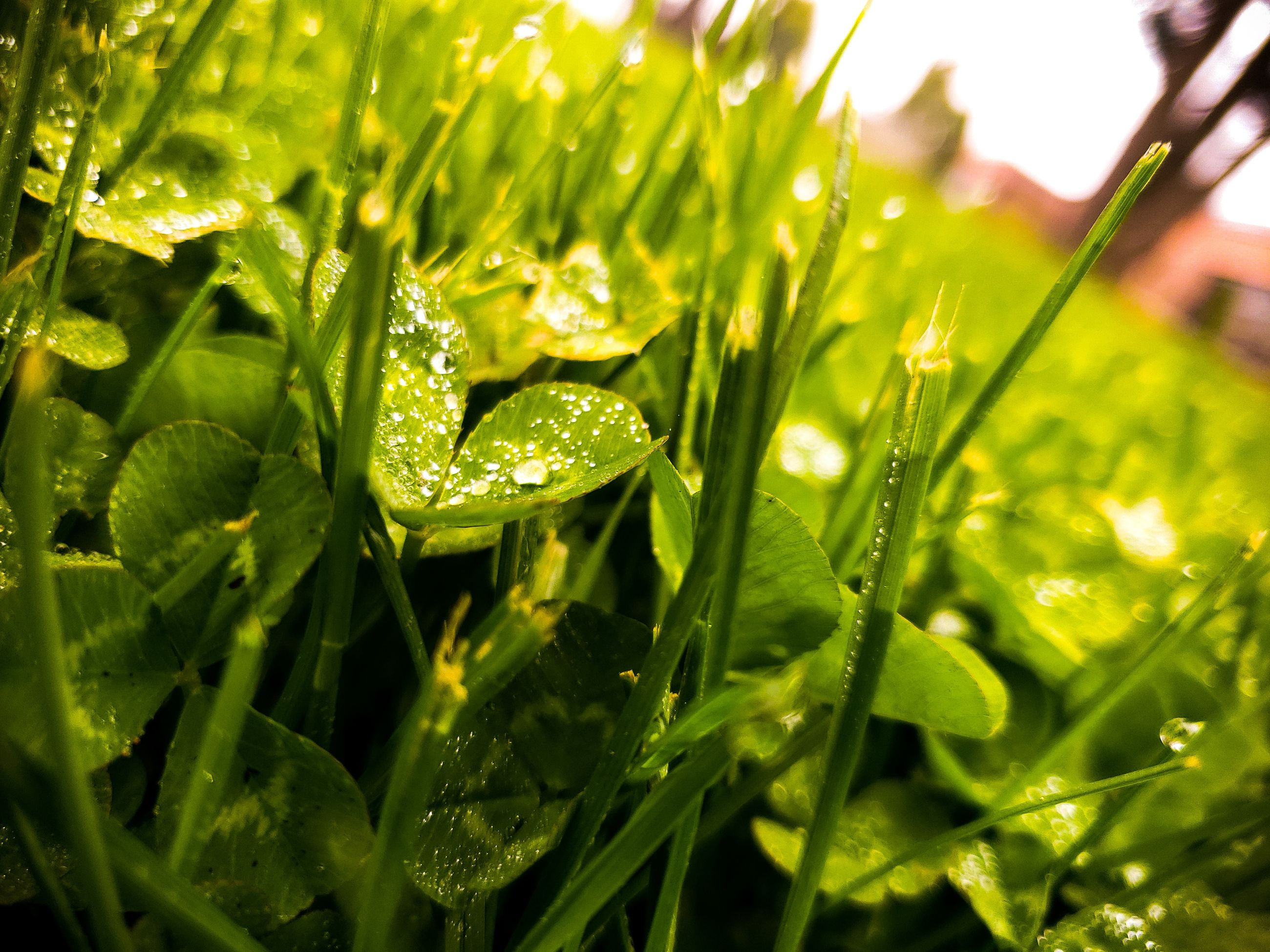 green color, plant, growth, drop, wet, leaf, water, nature, plant part, close-up, selective focus, no people, beauty in nature, day, freshness, sunlight, outdoors, tranquility, dew, rain, raindrop, blade of grass, leaves, purity, rainy season