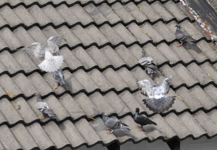 High Angle View Of Pigeons On Roof