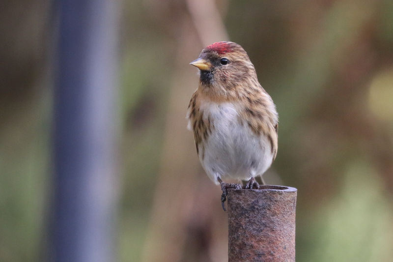 Lesser Redpoll Bird Animal Themes Animal Animal Wildlife Vertebrate One Animal Animals In The Wild Perching Focus On Foreground Close-up No People Day Sparrow Robin Wood - Material Nature Outdoors Full Length Looking Looking Away