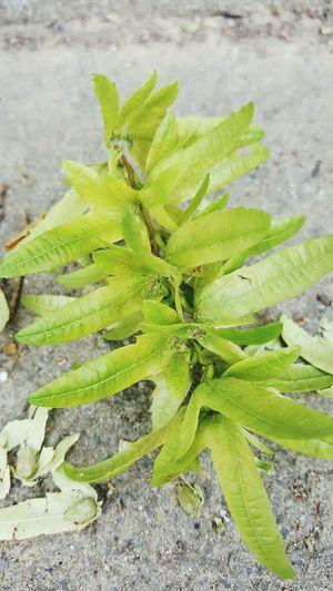 Plant Pflanzen Leben Live Green Color Samen Vermehrung Sommer Proliferation Sheets🍃 Blatt Blattstruktur