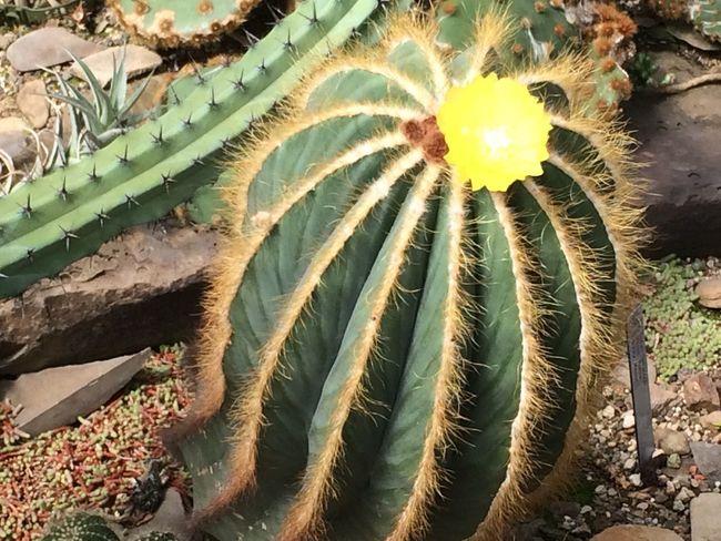 Cactus Flower Cactus Flower Desert