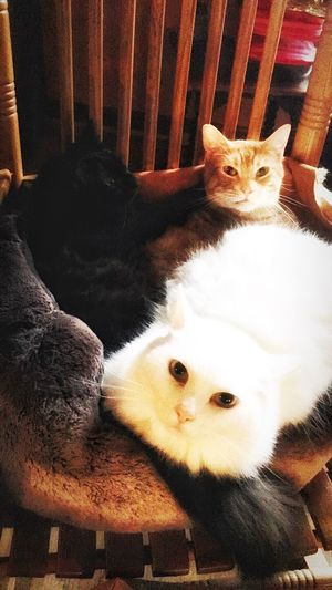 Always Be Cozy Pets Domestic Cat Domestic Animals Looking At Camera Mammal Animal Themes Portrait Feline Indoors  Cat No People Togetherness Day Cozycats Loveactually Huddleforwarmth Colorfulkitties Home Is Where The Art Is