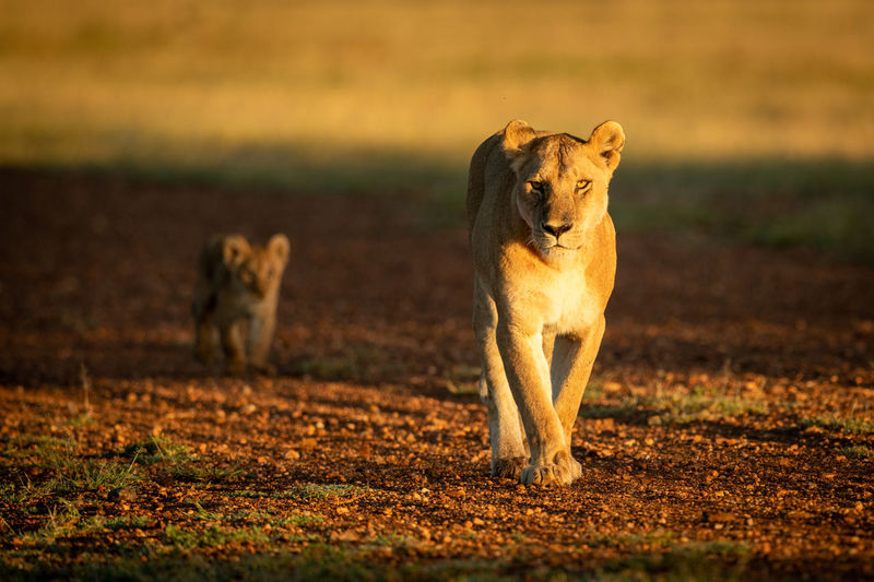Lioness with cub walking on land