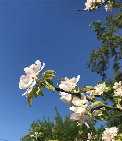 Plant Flower Flowering Plant Fragility Vulnerability  Beauty In Nature Tree White Color Close-up Low Angle View Springtime Freshness Clear Sky Day Growth Sky No People Nature Blossom Petal