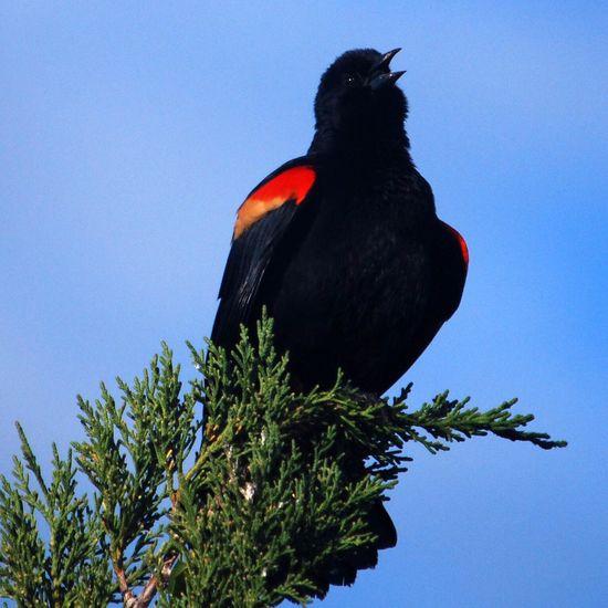 Redwing blackbird Taking Photos Nature Nikon