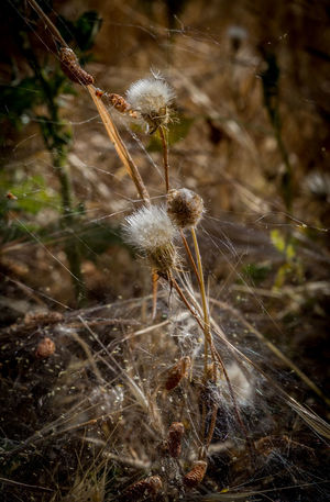 Beauty In Nature Close-up Day Focus On Foreground Fragility Growth Nature No People Outdoors Plant Spider Web Spider Web, Dew, Morning,