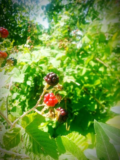 Bogurtlen First Eyeem Photo Blackberry Fruit Fruitporn