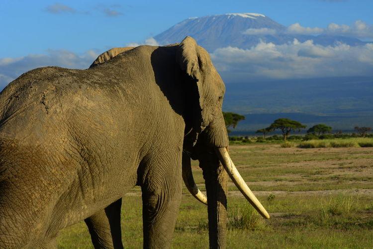 Elephants on field against mountain
