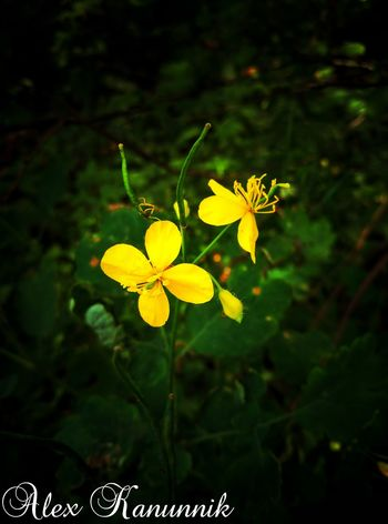 Yellow Flower Nature Leaf Plant Beauty In Nature Outdoors No People Growth Green Color Fragility Flower Head Day Close-up Freshness