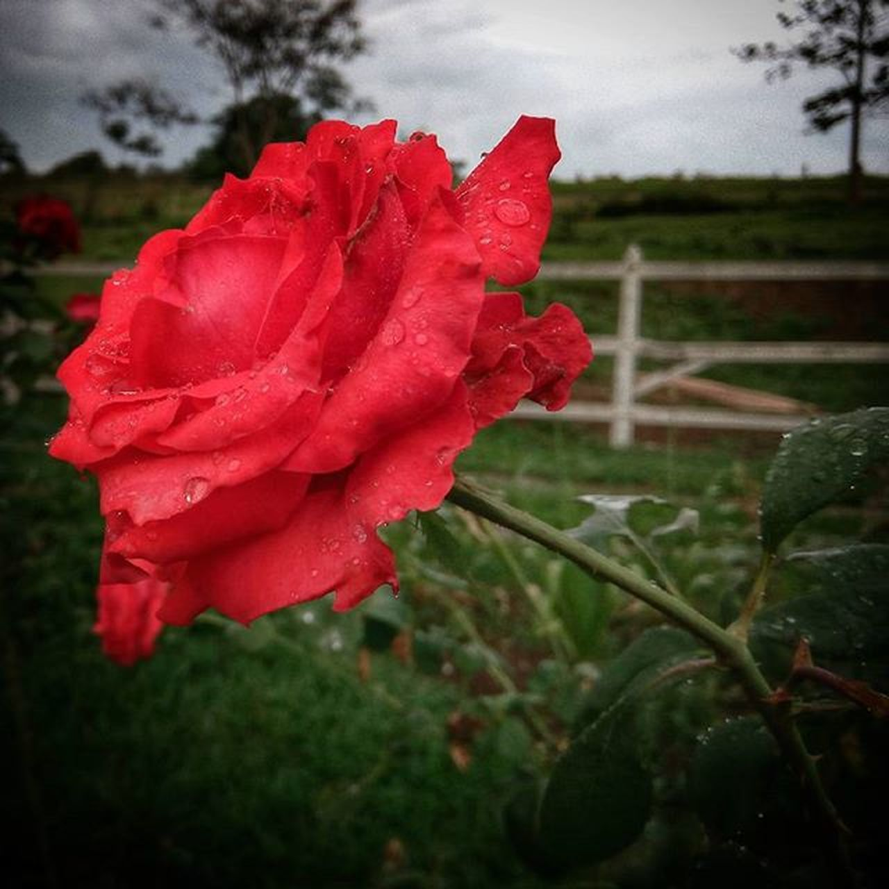 flower, petal, red, growth, drop, nature, rose - flower, beauty in nature, fragility, poppy, flower head, plant, freshness, wet, blooming, no people, close-up, outdoors, day, water, sky