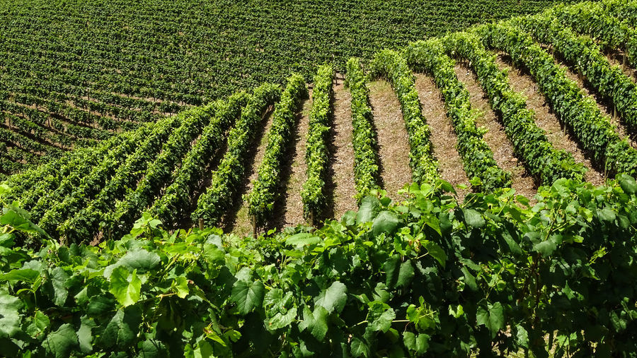 ezefer Growth Plant Green Color Agriculture Field Crop  Land Landscape Environment Farm Nature Rural Scene Beauty In Nature Scenics - Nature Tranquility Vineyard No People Day Tranquil Scene In A Row Plantation Winemaking Outdoors Jundiaí Winery Grapes Grape