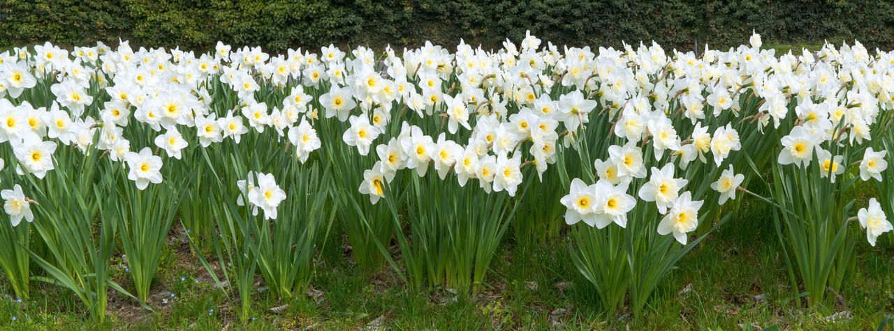 Many blooming daffodils, taken as a panorama Easter Panoramic Bloom Blooming Blossom Blossoming  Botany Daffodil Dense Early Bloomer Flora Flower Flowerbed Garden Leaf Many Narcissus Numerous Outdoor Park Season  Spring Spring Flowers Springtime Stem