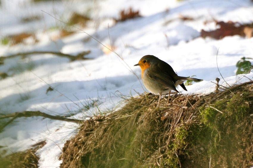 Rotkehlchen Birdwatching Birds Nature_collection