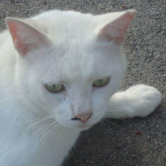 Cat Catsofinstagram Catlovers Igerscats Whitecat Pet Cute Parquecervantes Streetcat Gato Gatoblanco Gatocallejero Kissa Valkoinenkissa Katukissa Parque  Puisto Park Barcelona Bcnexploradores Bcnexplorers Thebarcelonist