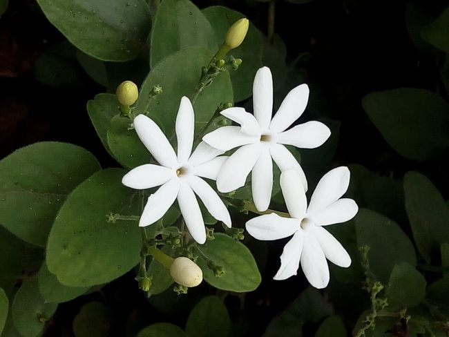One of Jasmine family.. Flower White Flower Flowers White Flowers White Flowers And Buds Jasmine Beautiful Nature Jasmine Flowers EyeEm Nature Lover EyeEm Best Shots EyeEm Best Shots - Nature Mymobilephotography Mobile Photography Plants And Flowers EyeEm Gallery Interesting Beautiful Nature Garden Photography Jasmine Collection Fine Art Photography Showcase July Home Is Where The Art Is Colour Of Life