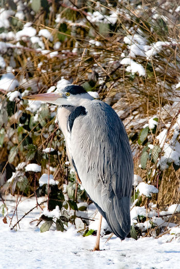 Frozen heron Birds Of EyeEm  Bird Photography Winter Cold Gray Heron Heron Water Bird Wildlife Beak