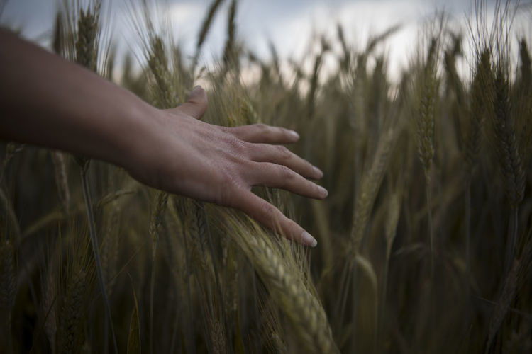 Cropped hand of woman touching crops in field