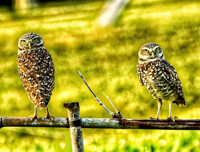 Portrait of owls perching on fence