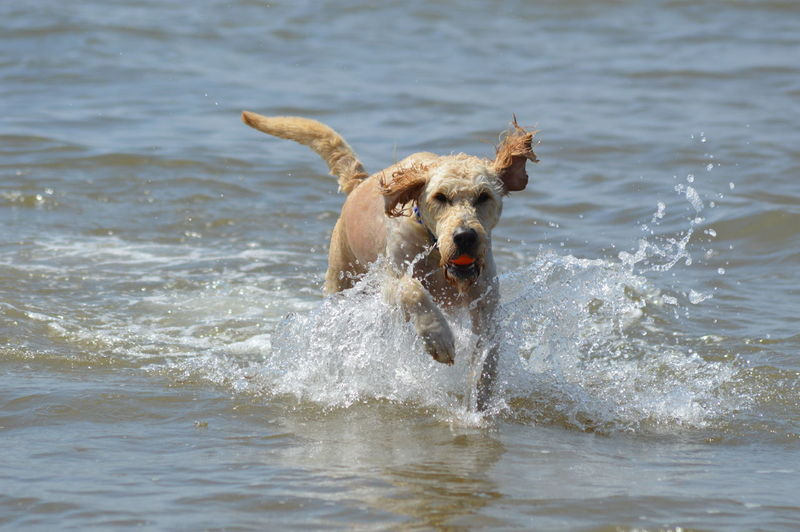 View of dog running in the sea