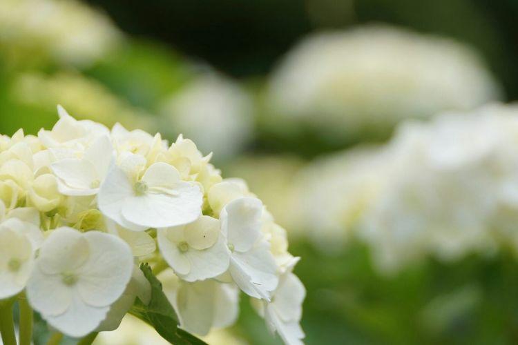 だんだん 好きになって…🎵 https://youtu.be/iFYv6yagJDY カバーだけど名曲です♡ White Hydrangea 紫陽花2015Photo ボケ味ふぇち 妄想ふぇち Beautiful Flower Flower Collection EyeEm Flower EyeEm Best Shots - Flowers Kagoshima Good night🌙 🙋