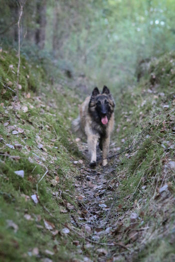 Belgian Tervueren Finland Lapland Scandinavia Animal Animal Themes Belgian Shepherd Canine Day Dog Field Forest Land Mouth Open Nature No People One Animal Outdoors Pets Plant Selective Focus