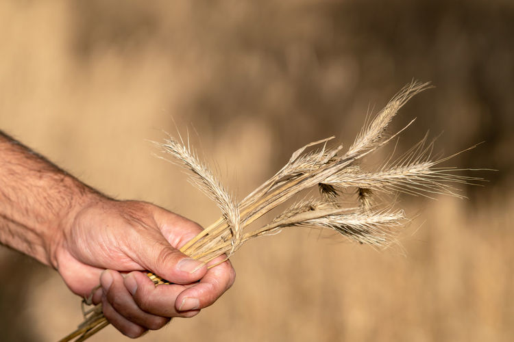 Close-up of hand holding wheat