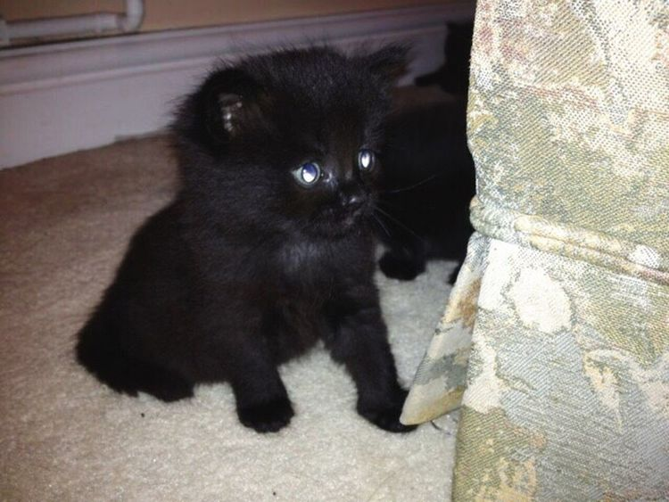 Kitten Cat Baby Kittens Of Eyeem Black Kitten Blue Eyes Cute Animal