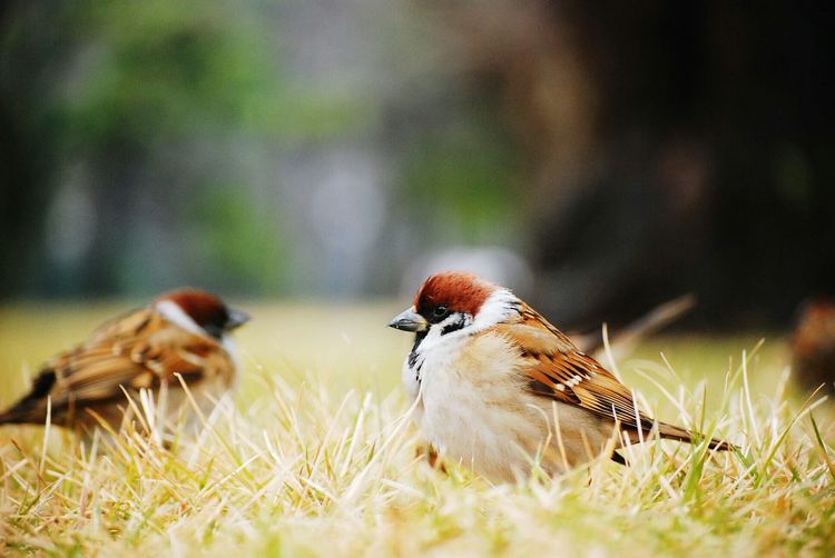 Traveling Sparrow すずめ