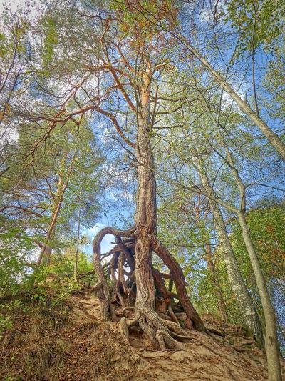 The Ents are coming! https://www.instagram.com/johnmaren/ https://www.photobymaren.com https://plus.google.com/u/0/+JohanMarengard https://www.flickr.com/photos/115763201@N02/ Tree Plant Day Forest Nature Tree Trunk Tranquility Trunk Growth Sky WoodLand Beauty In Nature Landscape Scenics - Nature Ents Back To The Roots Roots