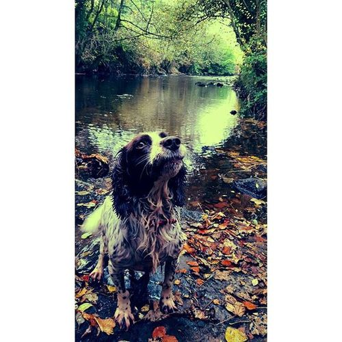 Rosie 💛 SpringerOfInstagram Instagramdogs Petstagram Dogmodel Swimming