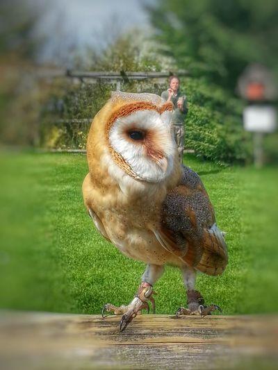Owl Barn Owl Bird Photography Bird Of Prey Lens Blur