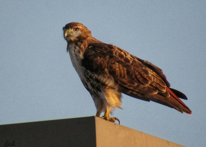 RED TAILED HAWK WAITING TO TAKE FLIGHTEyeEm Selects Bird One Animal Animal Themes Animals In The Wild Animal Wildlife No People Perching Close-up Full Length Outdoors Nature Bird Of Prey Sky Red-tailed Hawk Sunset Beautiful Feathers Large Bird Fall Evening