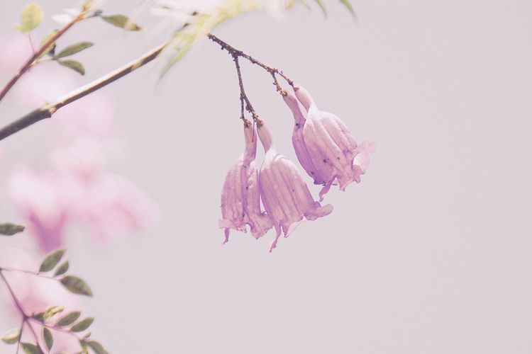Flower Fragility Freshness Growth Nature Beauty In Nature Petal Pink Color Plant Close-up Flower Head No People Outdoors Blooming Blossom Day Blue Sky Light Smell Beauty In Nature