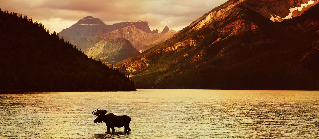 Moose in Lake with high mountains in background at sunset ( Alberta , Canada ) Adventure Alberta America Animals In The Wild Beauty In Nature Bullmoose Canada Lake Landscape Mammal Moose Mountain Mountain Range Nature No People One Animal Outdoors Scenics Silhouette Sky Sunset Water Waterton Waterton Lakes National Park Waterton National Park First Eyeem Photo Go Higher The Traveler - 2018 EyeEm Awards