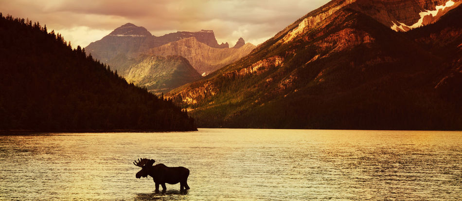Moose in Lake with high mountains in background at sunset ( Alberta , Canada ) Adventure Alberta America Animals In The Wild Beauty In Nature Bullmoose Canada Lake Landscape Mammal Moose Mountain Mountain Range Nature No People One Animal Outdoors Scenics Silhouette Sky Sunset Water Waterton Waterton Lakes National Park Waterton National Park First Eyeem Photo Go Higher
