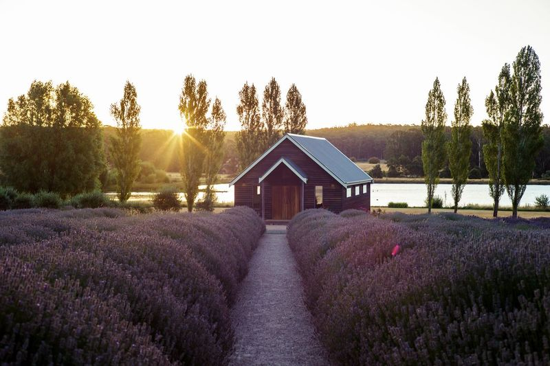 A lavender field in Melbourne, Victoria. My Best Photo Plant Sky Nature Tree Growth Flower Beauty In Nature Flowering Plant Land Sunset Landscape Tranquil Scene Field No People Tranquility Purple Architecture Built Structure Agriculture Farm Lavender Outdoors Flowerbed