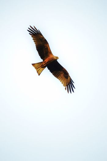Milvus Ornithology  Free Bird Bird Photography Nature Life 300mm Portugal Flying Animals In The Wild One Animal Animal Themes Animal Wildlife Animal Vertebrate Bird Spread Wings Sky No People Clear Sky Low Angle View Mid-air Nature Beauty In Nature Bird Of Prey