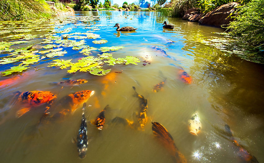 Australia Dubbo Koi Animal Themes Animal Wildlife Animals In The Wild Beauty In Nature Day Duck Floating On Water High Angle View Koi Carp Koi Fish Koifish Lake Large Group Of Animals Nature No People Outdoors Reflection Sea Life Swimming Water