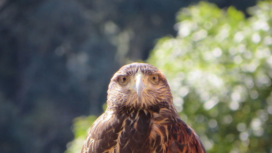 Close-up portrait of hawk against blurred background