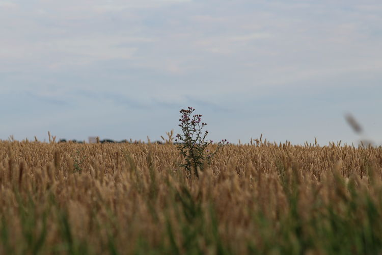 Cereal plant with sky in background