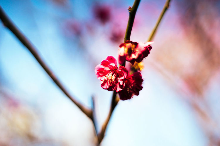 Taken at Asakusa area Cherry Blossoms Japan Japan Photography Nice Day Shrine Of Japan Small Flowers Tokyo Tokyo,Japan Travel Walking Around Blue Sky Flower Flowering Plant Growth Love Spring Nature No People Old But New  Plant Retro Styled Spring Flowers Springtime Ume 春
